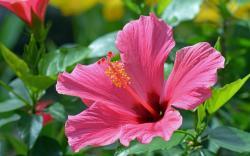 Pink hibiscus HQ WALLPAPER - (#140861)