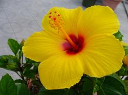 Yellow Hibiscus Flower Pictures