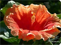 Hibiscus Flower Images 11 HD Wallpapers