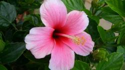 2048x1152 Wallpaper hibiscus, flowering, pink, stamen, greens