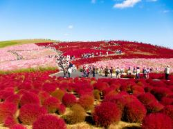 Kochia - Hitachi Seaside Park, Japan (photo: shin--k/flickr