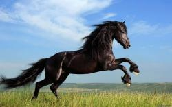 Black Horse HD Wallpapers 15
