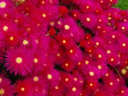 Hot Pink Flowers Wallpaper 1600x1200px