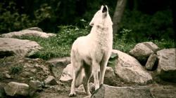 White Wolves howling in the deer park - Schaurig schön. Wölfe heulen im Wildpark.