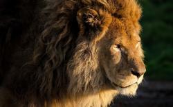Huge male lion