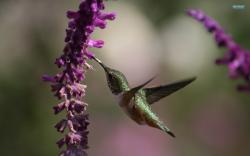 Following the click of the download button, right click on the image and select SAVE AS to complete your download. Filename : Hummingbird Wallpaper Abstract