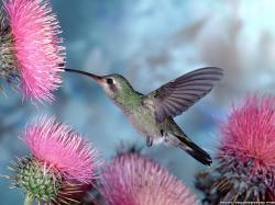 birds_hummingbirds_purple_flowers colorful hummingbird 02 colorful hummingbird Anna's Hummingbird Hummingbird Desktop Background Hummingbird Wallpaper 02 ...