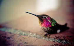 HD Wallpaper | Background ID:346582. 1680x1050 Animal Hummingbird