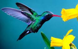 Hummingbird Wallpaper 461
