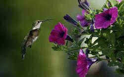 Hummingbird Wallpaper; Hummingbird Wallpaper; Hummingbird Wallpaper ...