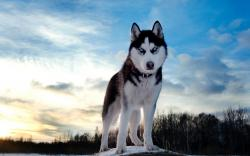 Husky Wallpaper · Husky Wallpaper · Husky Wallpaper ...