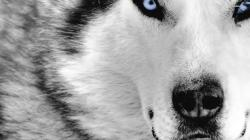 Siberian Husky wallpaper 1920x1080