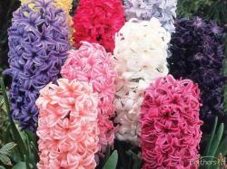 ... Original Link. Download Hyacinth ...