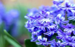 Hyacinth 20180