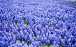 Free Hyacinth Wallpaper 20174 1280x800 px