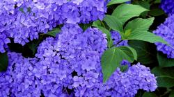 You can use a variables Hydrangea Flower Essence, http://typesofflower.com/hydrangea-meaning-of-the-word-symbolism/hydrangea-flower-essence/, ...
