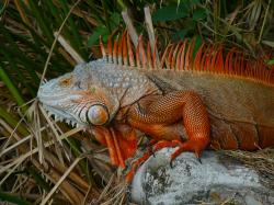 Reddish colored green iguana