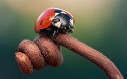 Insect Ladybug Branch Macro