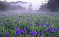 Desktop wallpapers Iris meadow in the mist near Hiroshima.