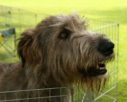 The Irish Wolfhounds are sight hounds with high prey drive. That means, they will chase animals, and even cars and bikes. So if he gets away,… good luck ...