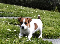 Jack (Parson) Russell Terrier Picture