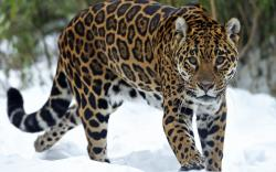 Jaguar Animal Desktop Wallpapers