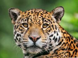 ... Jaguar; Jaguar; Jaguar; Jaguar