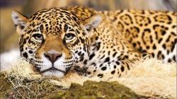 Jaguar The Big Cat Wallpaper Px Free Download 1920x1080px