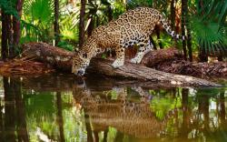 1920x1200 Wallpaper jaguar big cat, predator, water, drink, thirst, reflection,