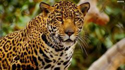 Jaguar- Photo#06