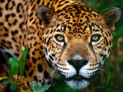 free Jaguar wallpaper wallpapers download