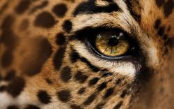 HD Jaguar Wallpaper