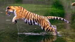 PsBPsBattle: A jumping tiger ...