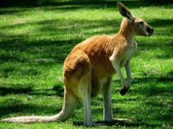 Kangaroo - Western grey kangaroo facts for kids