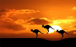 Kangaroo Wallpaper; Kangaroo Wallpaper ...
