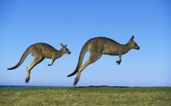 Like a kangaroo. Why are those kangaroos such efficient jumpers anyway? Could it have something to do with a massive rubberband like tendon that utlizes the ...