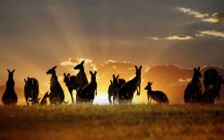 Kangaroo Wallpaper; Kangaroo Wallpaper; Kangaroo Wallpaper; Kangaroo Wallpaper ...