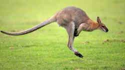 beautiful kangaroo hd wallpaper desktop background widescreen images of kangaroo animals free download