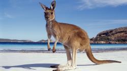 kangaroo on beach