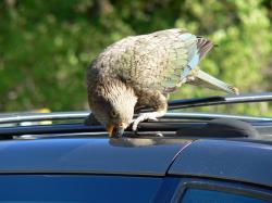 Interestingly, a group of Kea is called a circus, while a group of crows is a murder. The common crow is on-par -or better- with the Kea in terms of ...