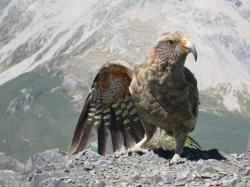 ... Kea Dance, Avalanche Peak | by rickcox