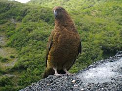 File:Kea (mountain parrot).jpg