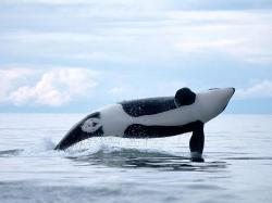 Orca ♡ - orca-the-killer-whale Photo