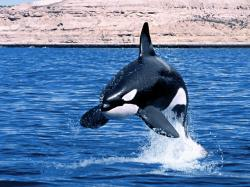 Animal Pictures Orca Wallpapers Hd Os Killer Whales Wallpaper 1600x1200px