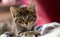 Cute kitten, attractive face, eyes, ears, close-up wallpaper 1680x1050.