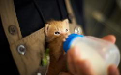 Kitten drink milk bottle