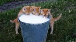 5 Kittens Drinking Milk >>