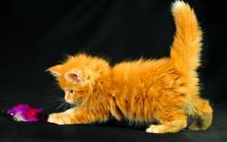 Kitten play feather