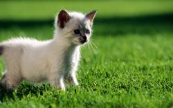 Kitten in grass Animals White Kitten Cat Grass