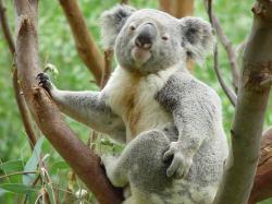 Koala HD Wallpapers9